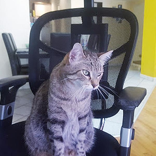 Chat tigré assis sur une chaise de bureau