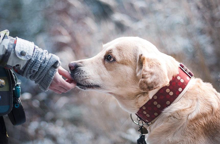 Main donnant quelque chose à un labrador