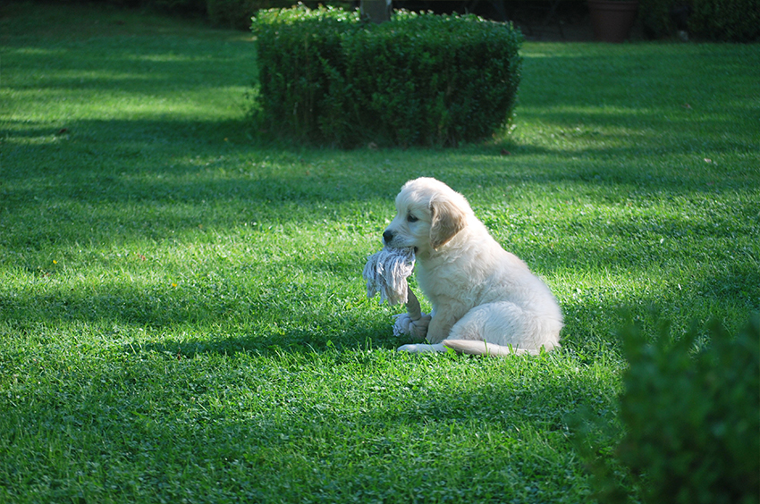 Chiot labrador assis dans l'herbe