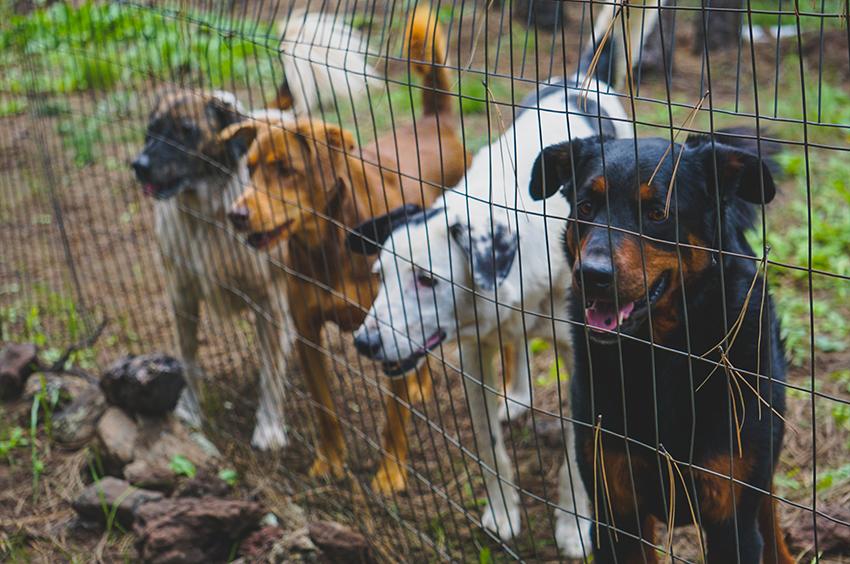 Quatre chiens derrière une clôture