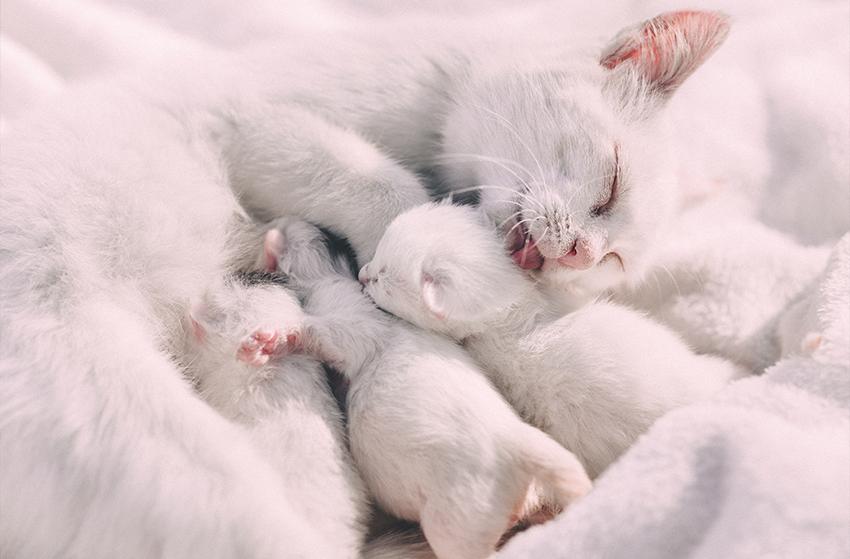 Mère faisant la toilette à ses chatons