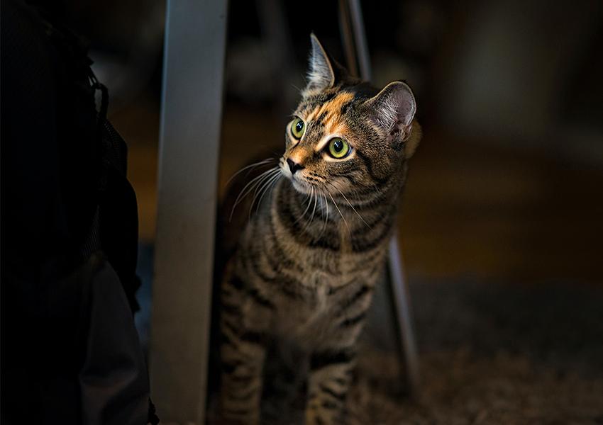 Chat sous une table, paraissant surpris