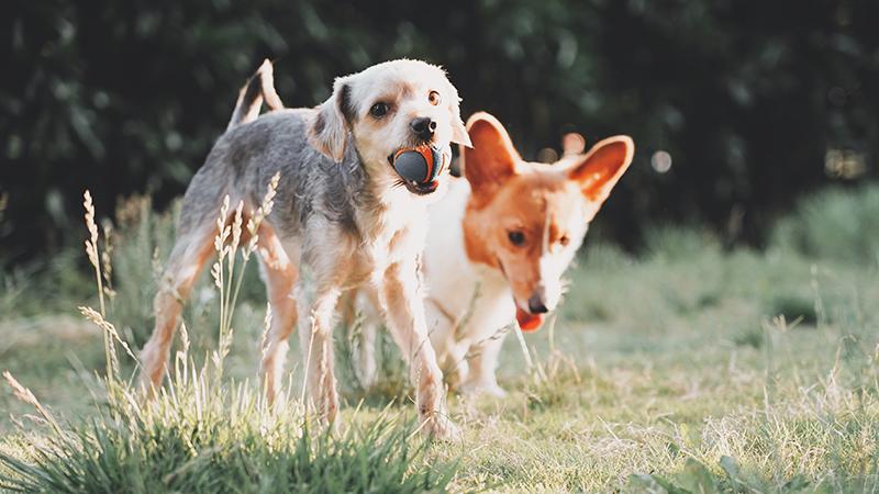 Deux chiens s'amusant avec des jouets