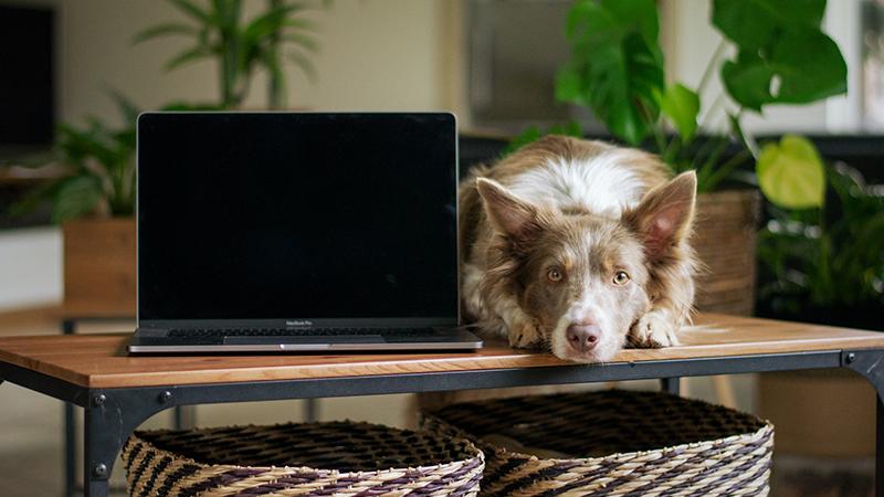 Chien couché à côté d'un ordinateur portable sur une table pour faire de la télémédecine