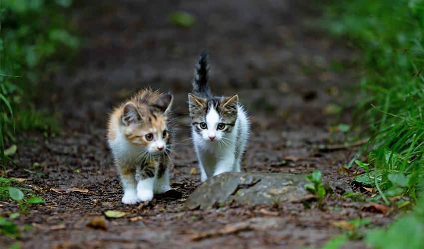 Deux chatons marchant sur un sentier dans la nature